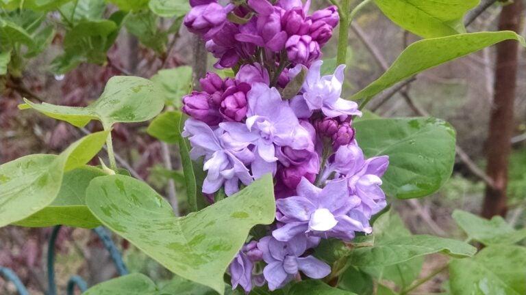 Lilac Shrub Coming Into Bloom