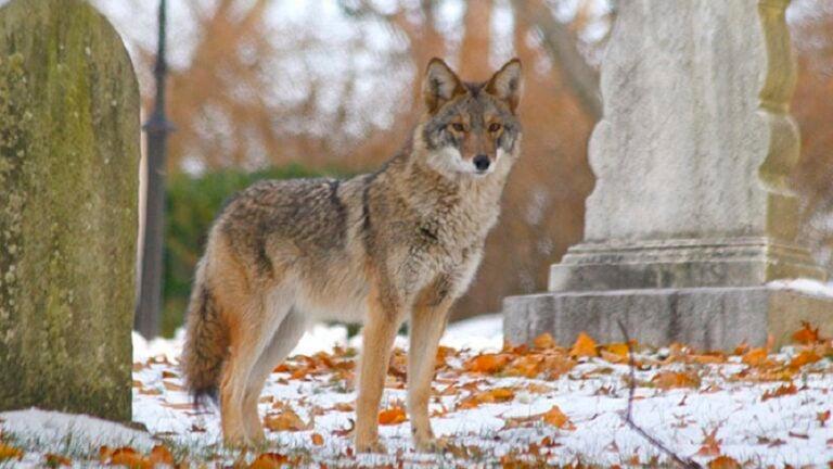 Coyote in Cambridge