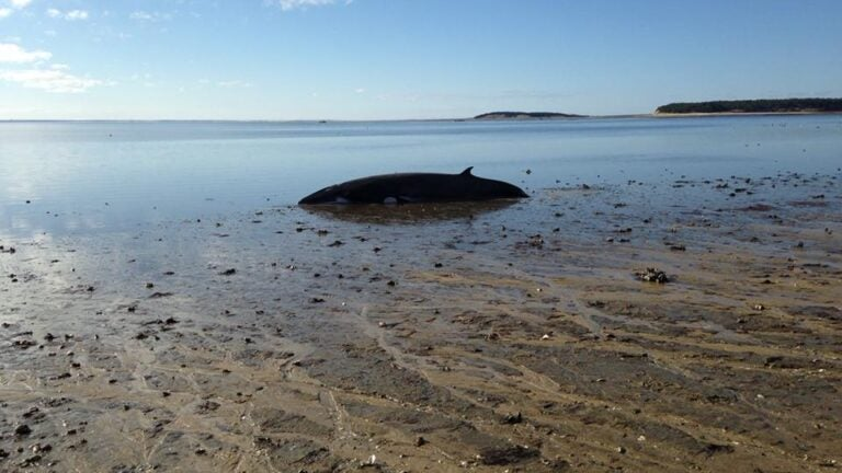 Whale Rescued in Wellfleet