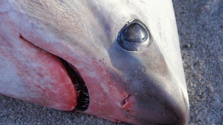 Frozen Shark Cape Cod