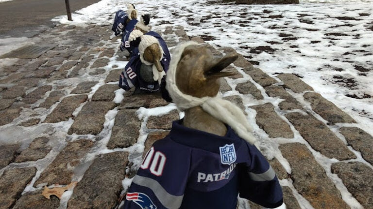 Ducklings dressed up in Patriots jerseys.