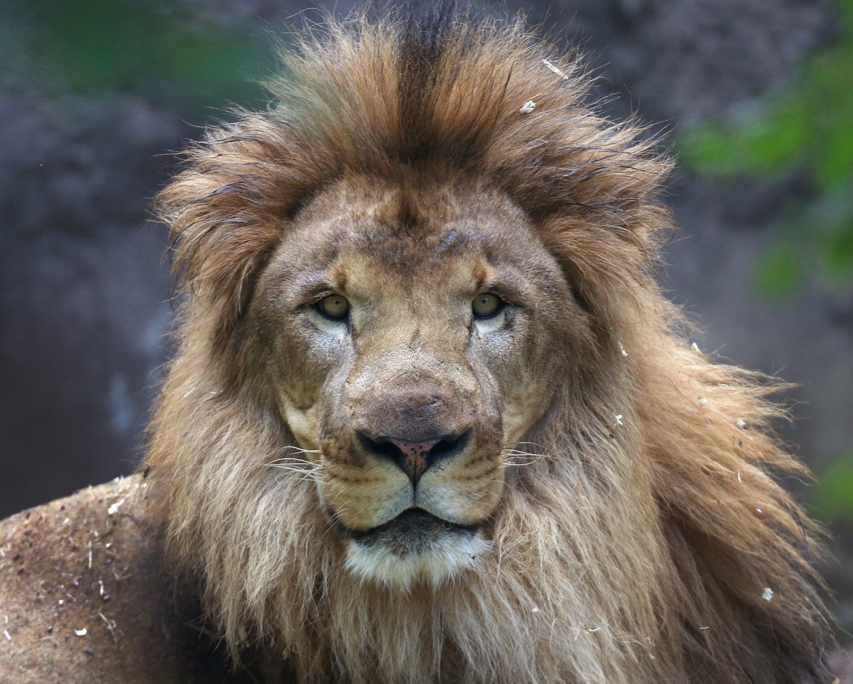 Franklin Park Zoo Lions