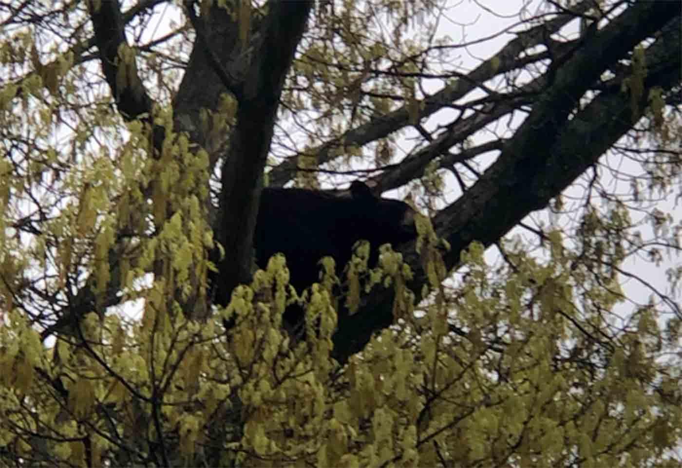 arlington bear