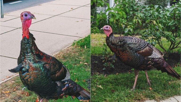 Somerville turkey