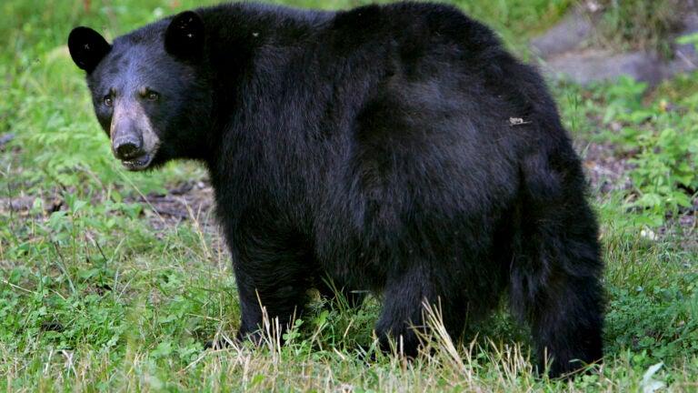 A black bear in Lyme, N.H.