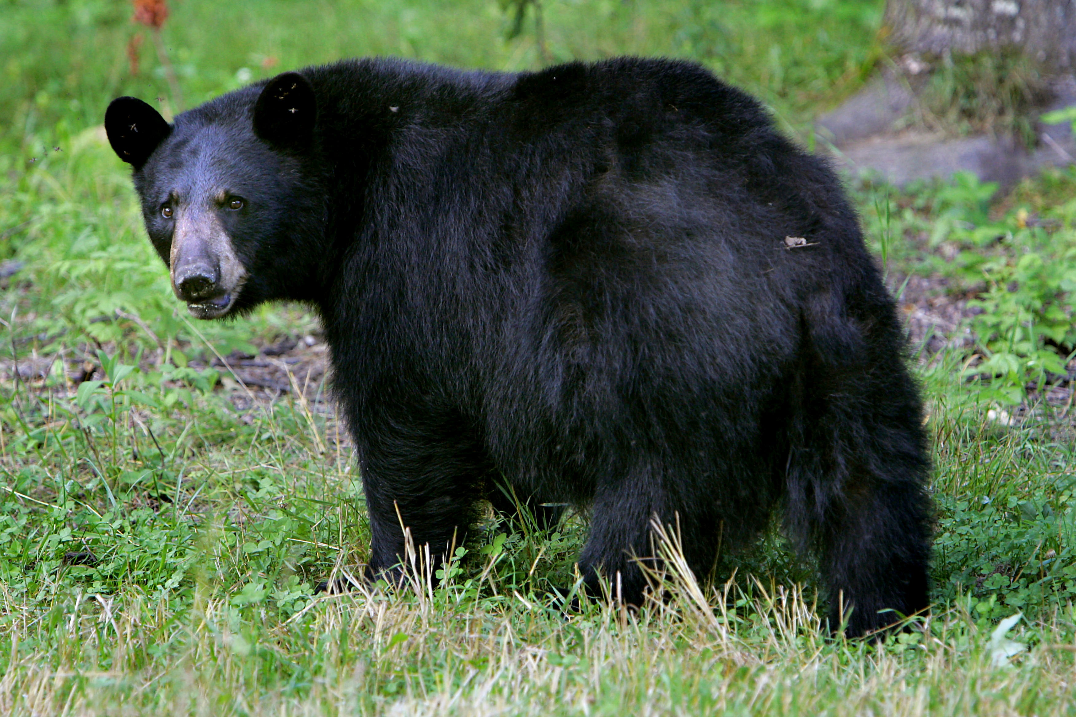 A black bear in Lyme, N.H.