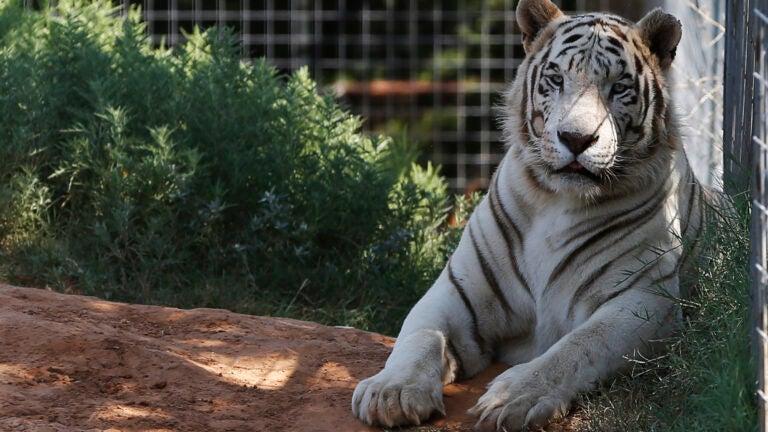 Tiger King Zoo